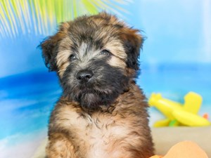 Soft Coated Wheaten Terrier-DOG-Female-WHEATEN-
