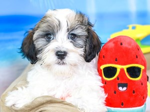 Havanese-DOG-Male-gld/wh-