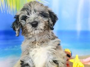 Goldendoodle-DOG-Female-blk/bl mrl-