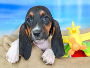 Basset Hound-DOG-Female-TRI-