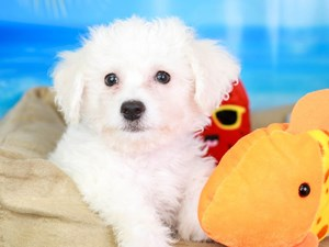 Bichon Frise-DOG-Male-WHITE-