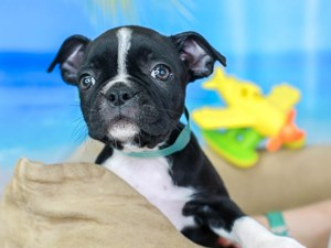 Boston Terrier-DOG-Female-BLK & WH-
