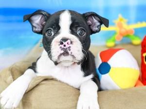 Boston Terrier-DOG-Female-BLK & WH-3211057