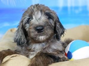 Goldendoodle-DOG-Male-bl mrl-3210748