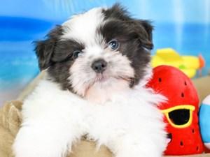 Shiranian-DOG-Male-grey/white-3207023