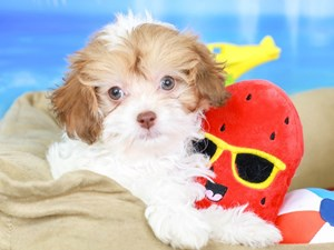 Havapoo-DOG-Female-brwn & wh-3210743