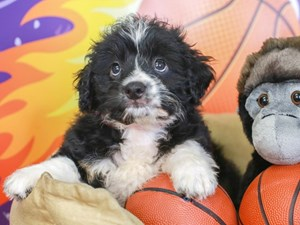 Aussie Poo-DOG-Female-BLK/TN PANTS-3221298