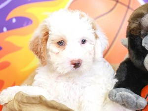 Mini Labradoodle-DOG-Male-wh w/apct-
