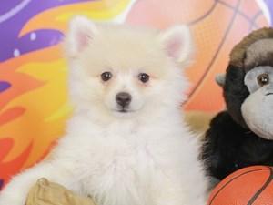Pomeranian-DOG-Male-cream-