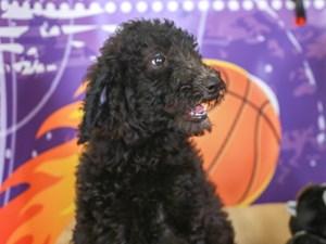 Goldendoodle-DOG-Female-blk-3221097