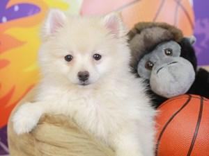 Pomeranian-DOG-Female-cream-