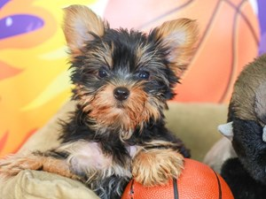 Yorkshire Terrier-DOG-Female-BLACK/TAN-