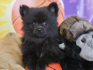 Pomeranian-DOG-Female-BLK-