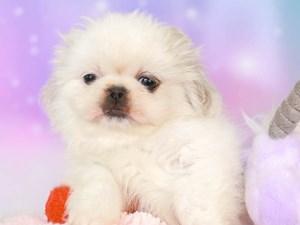 Pekingese-DOG-Female--