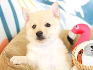 Schipperke-DOG-Male-CREAM-