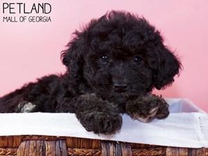 Miniature-Poodle-DOG-Female-3228166