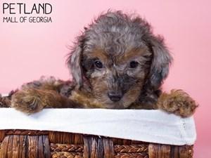 Miniature-Poodle-DOG-Female-3227748