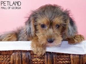 Yorkiepoo-DOG-Female-3227760