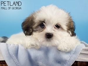 Teddy-Bear-DOG-Male-3227884