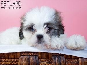 Teddy-Bear-DOG-Female-3227885
