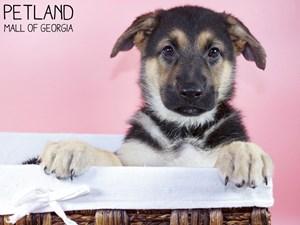 German-Shepherd-DOG-Female-3227771