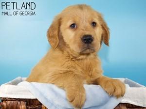 Golden-Retriever-DOG-Male-3227835