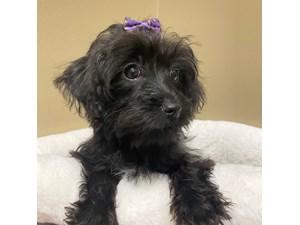 Yorkiepoo-DOG-Female--
