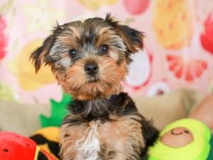 Yorkshire Terrier-DOG-Male-BLK/GLD-