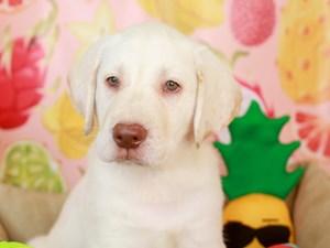Labrador Retriever-DOG-Male-wht-