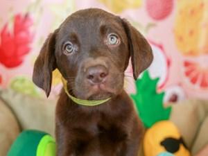Labrador Retriever-DOG-Female-chc-