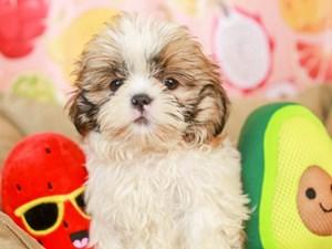 Shih Tzu-DOG-Female-sbl & wht-