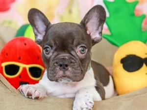 French Bulldog-DOG-Female-blk/wh pie-