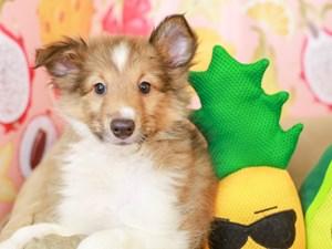 Shetland Sheepdog-DOG-Male-SABLE & WHITE-