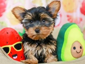 Yorkshire Terrier-DOG-Female-BLK/GLD-