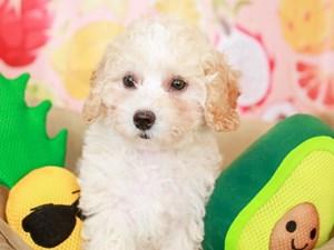 Mini Labradoodle-DOG-Female-wh/cr-