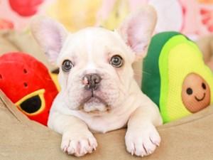 French Bulldog-DOG-Male-CREAM-