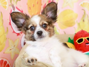 Papillon-DOG-Male-White and Sable-3238760