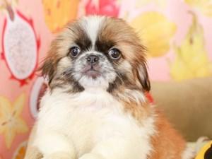 Pekingese-DOG-Female-sbl & wht-