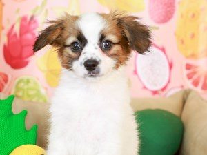 Papillon-DOG-Male-White and Red-3238758