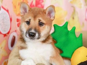 Shiba Inu-DOG-Male-sesame-