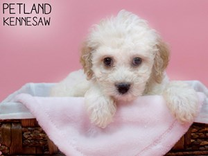 Cockapoo-DOG-Female-3237379