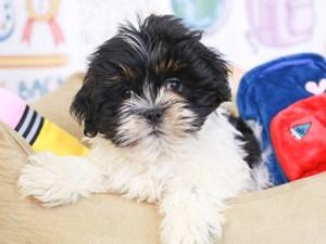 Lhasa Apso-DOG-Male-Black & white-3249122