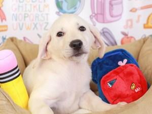 Labrador Retriever-DOG-Female-wht-3249431