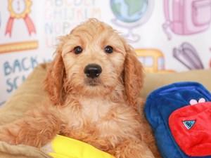 Goldendoodle-DOG-Female-GLD-3249936