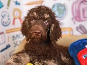 Standard Poodle-DOG-Male-brown/tn-3249961
