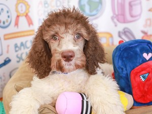Standard Poodle-DOG-Male-chc/wh parti-3249962