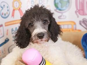 Standard Poodle-DOG-Male-black/wh-3249963