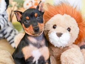 Mini Pinscher-DOG-Female-blk & tn-3260088