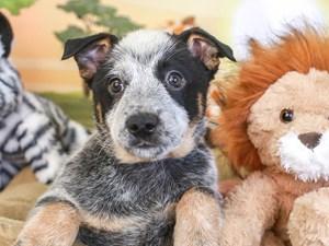 Blue Heeler-DOG-Male-blue-3260160