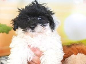 Maltipoo-DOG-Male-blk/wh-3259933